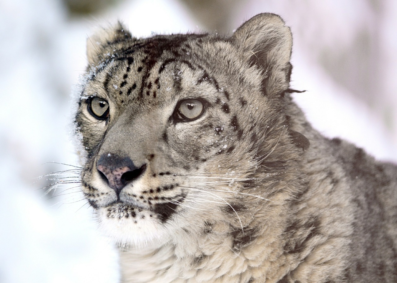 Snow Leopard| Wildlife | Spiti| Above 14000ft